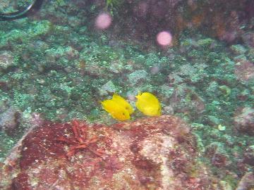 モンツキハギ幼魚