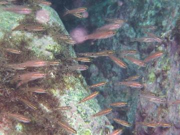 コスジイシモチか何かの幼魚