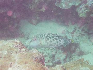 ナポレオンの幼魚