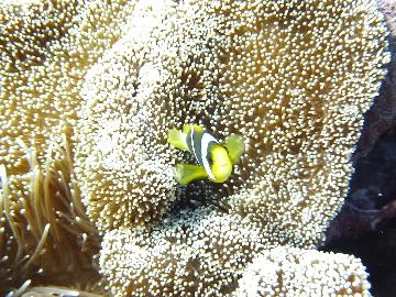 オレンジフィンアネモネフィッシュ幼魚
