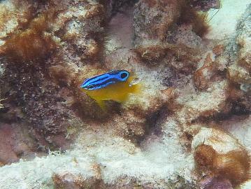 ブルースポット ダムゼルの幼魚