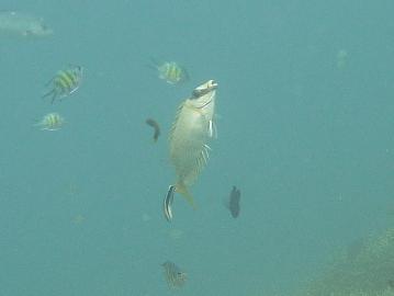 9月16日クリーニングされているマジリアイゴ