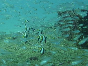 ムレハタタテダイとネンブツダイの幼魚1