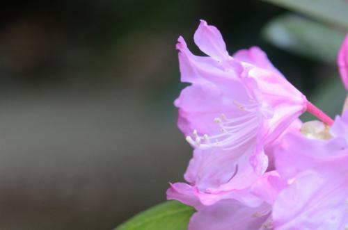 石楠花2s