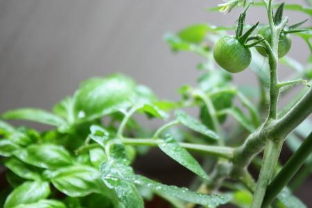 バジルとミニトマト