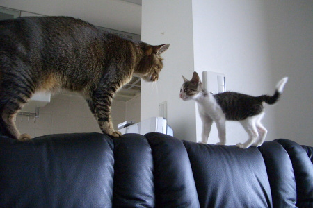大猫vs子猫
