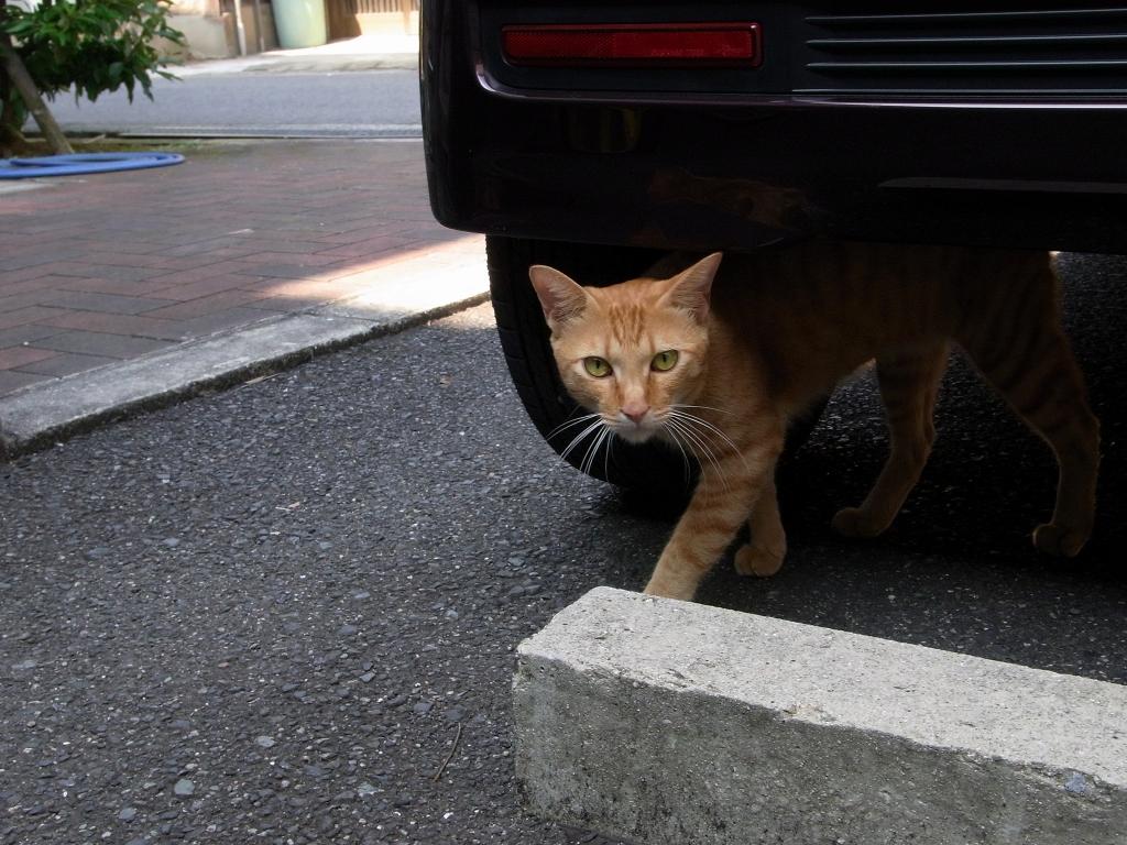 なついてきた猫。