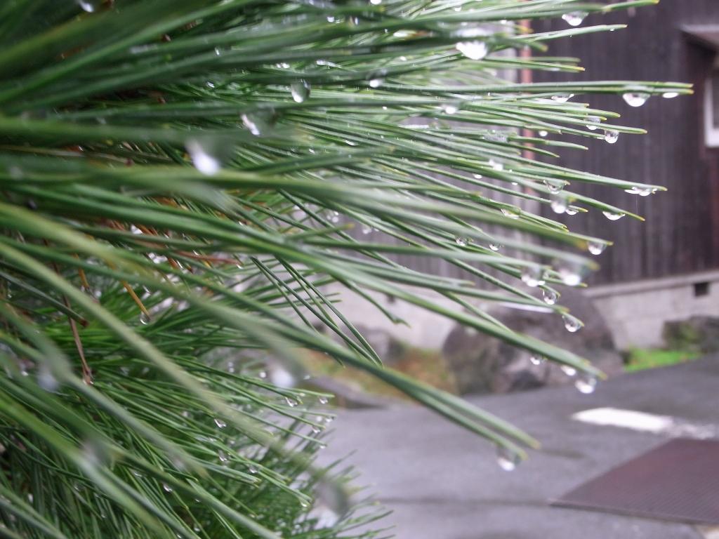 なんとなく撮った。松の木に、水滴。