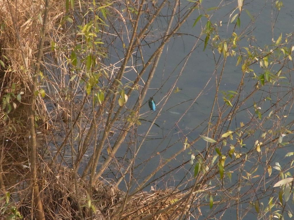 安威川のカワセミ。