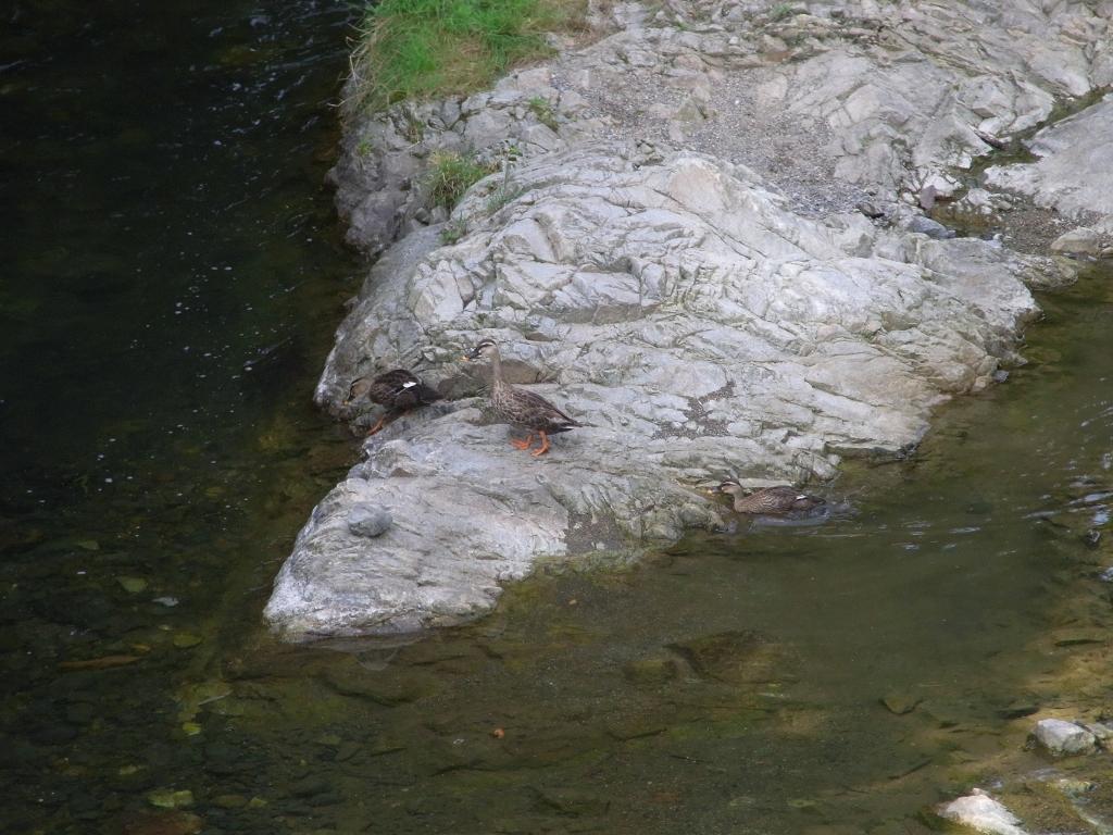 川にすむカルガモ。