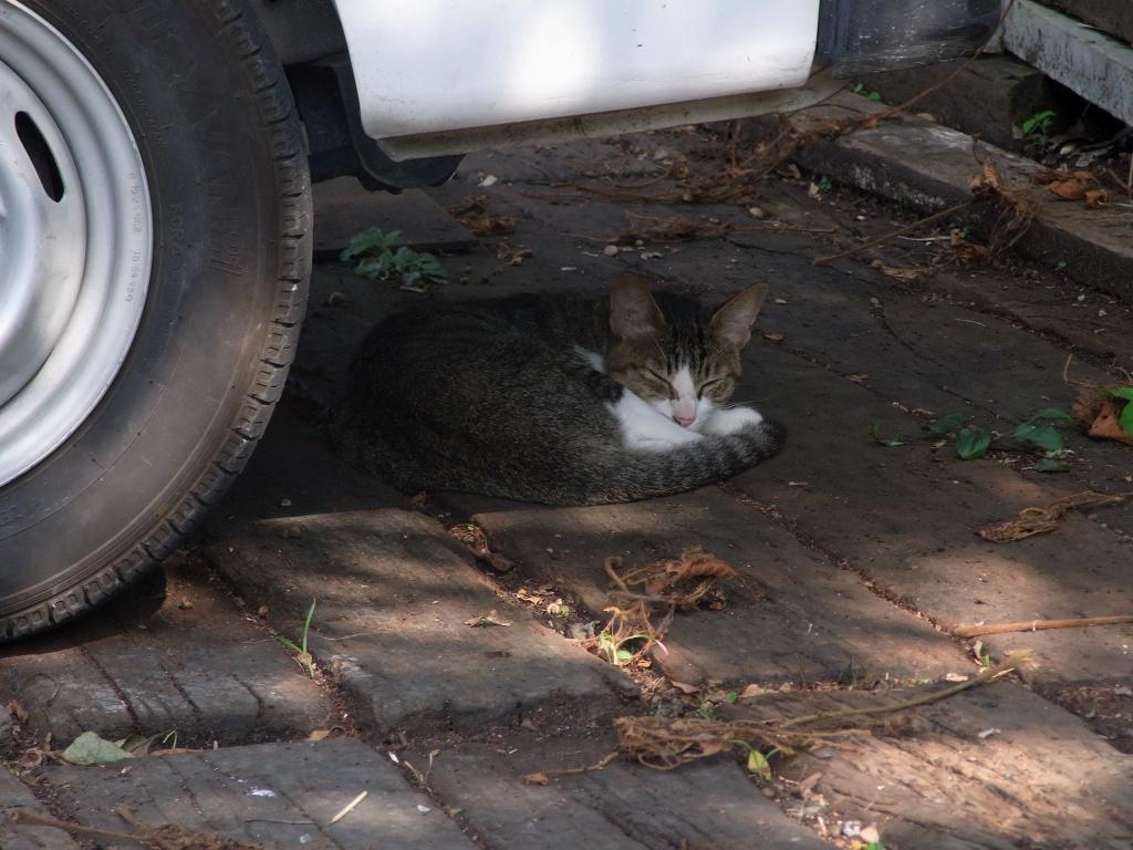 車の下で休むネコ。