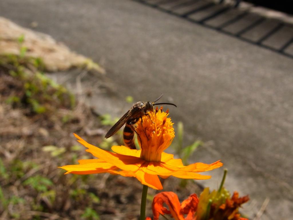 キンケハラナガツチバチ。