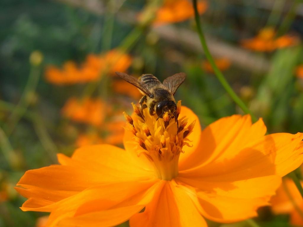 キバナコスモスにミツバチ。