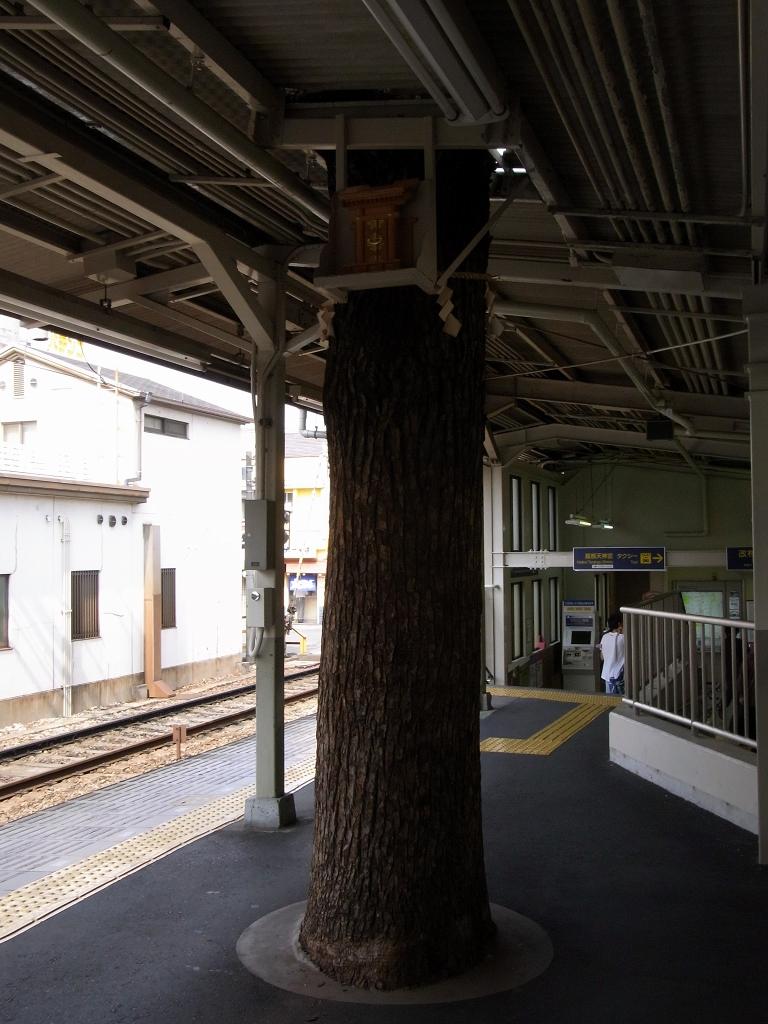 阪急服部駅のクスノキ。