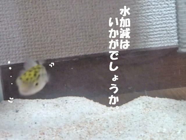ぷくた水入替後.
