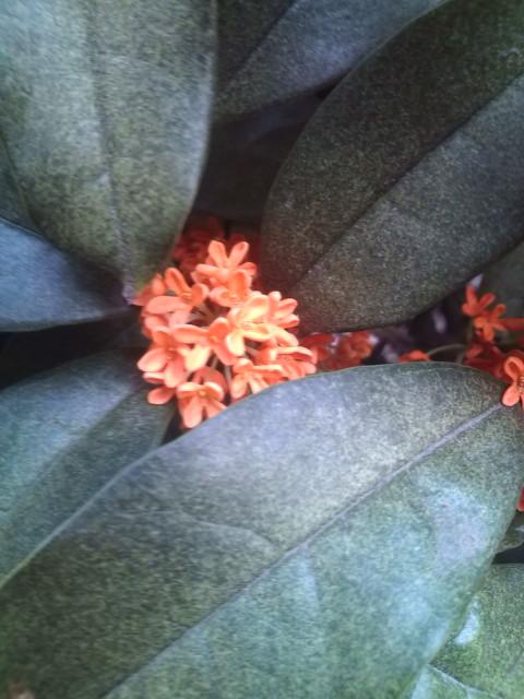 キンモクセイのお花