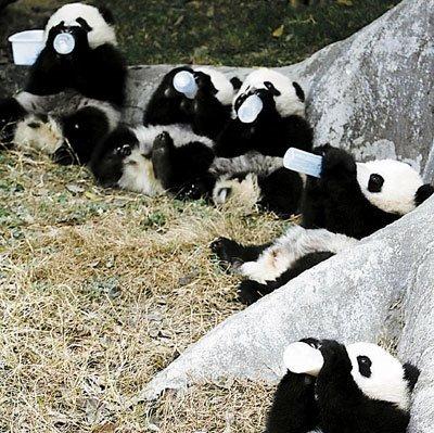 panda-19.jpg