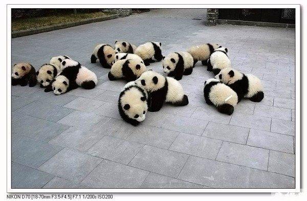 panda-20.jpg