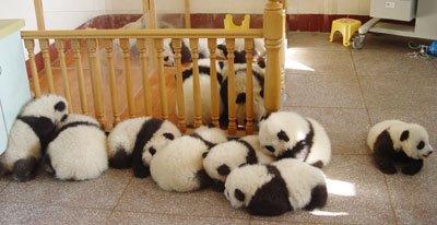 panda-22.jpg