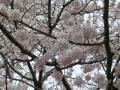 満開の桜アップ②