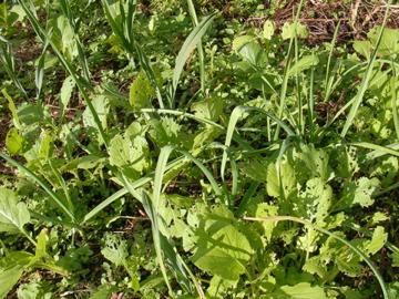 ニンニク菜っ葉