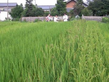 色々米田んぼ