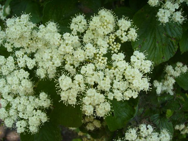 がまずみの花09