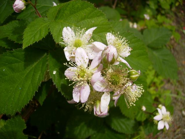 ブラックベリーの花140