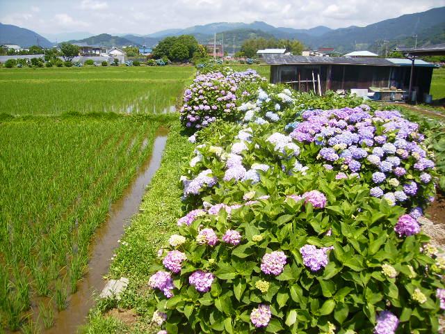 紫陽花62