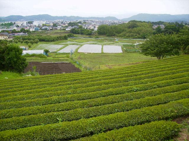 初夏の茶畑04
