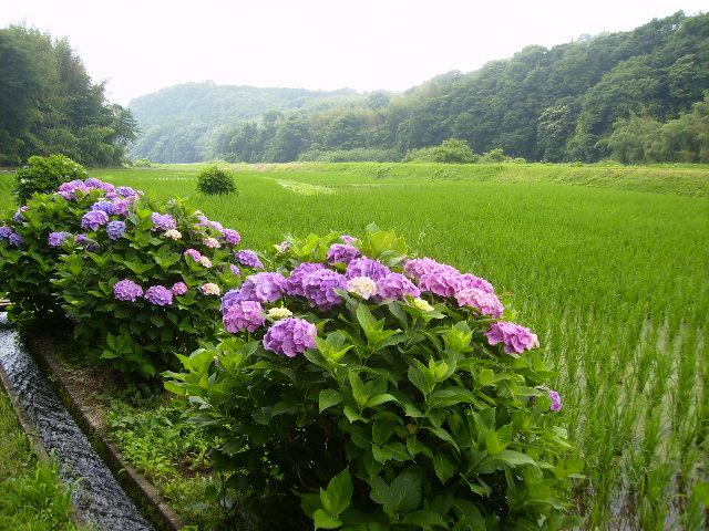 紫陽花70