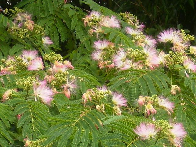 ねむの花39