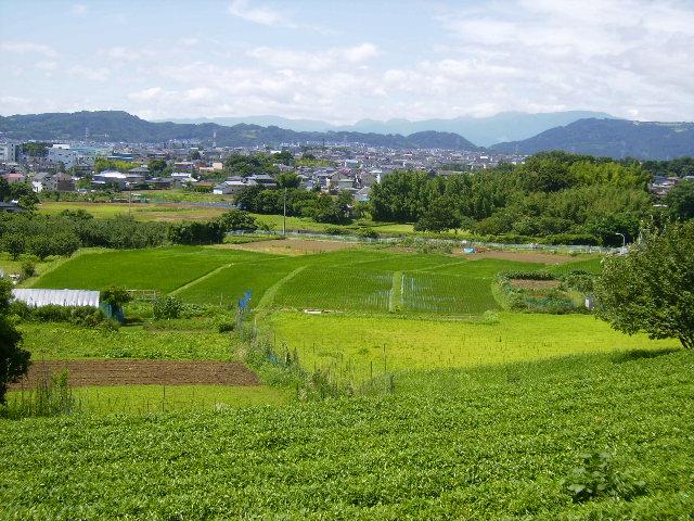 茶畑と青田03