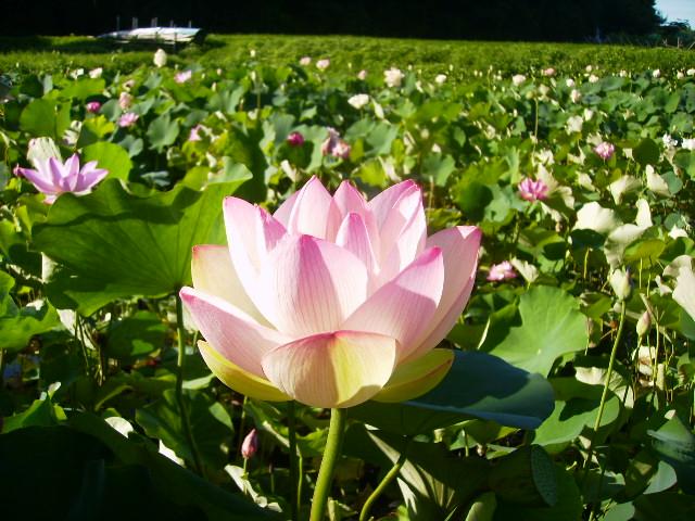 蓮の花83