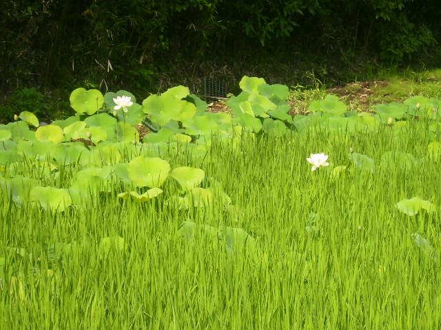 青田とはすの花19