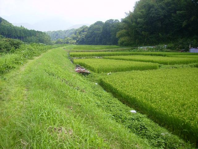稲田と土手道61