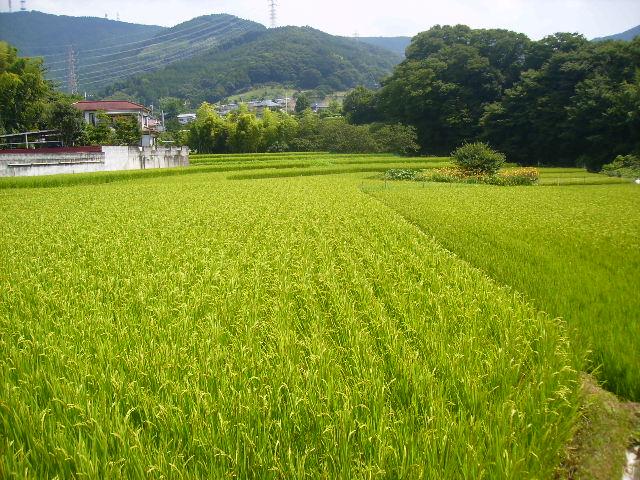 象ヶ谷戸の稲田57