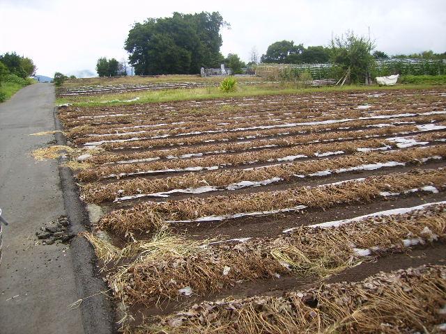 らっかせいの収穫06