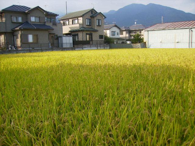 唯一の稲田03