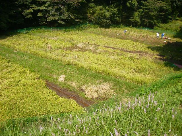 稲刈り中15