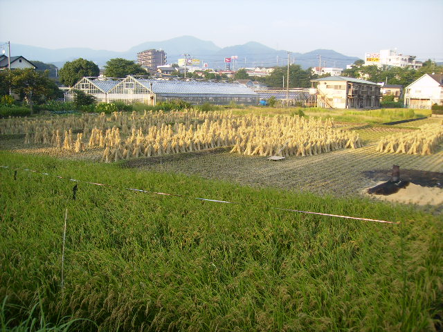 稲田と藁干し03
