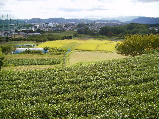 茶畑と稲田06