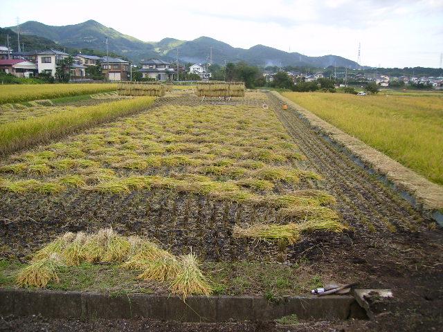稲刈り中14