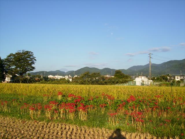 彼岸花と富士38