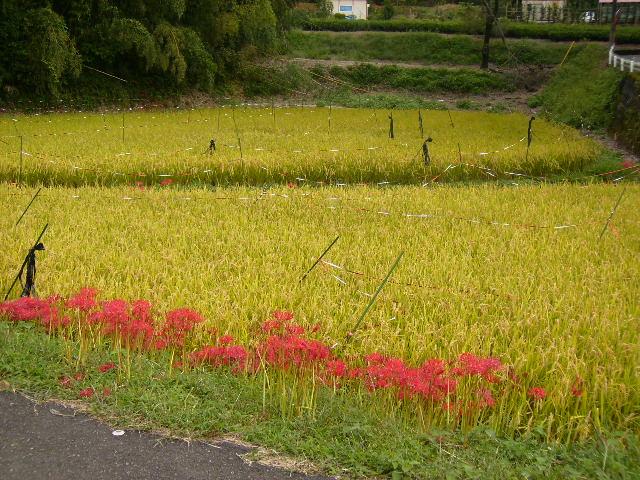 彼岸花と稲田168