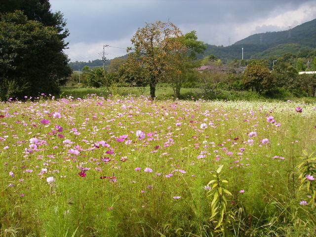 秋桜畑104