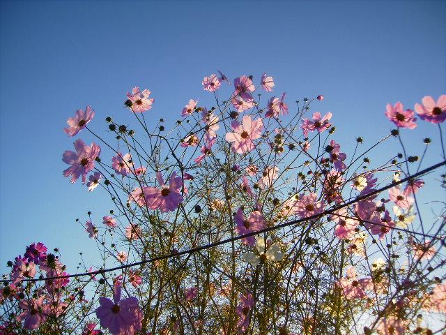 秋桜005