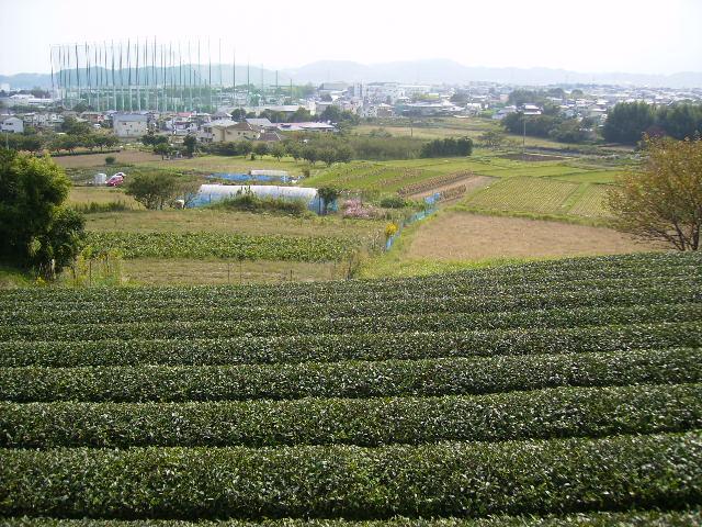 秋の茶畑04