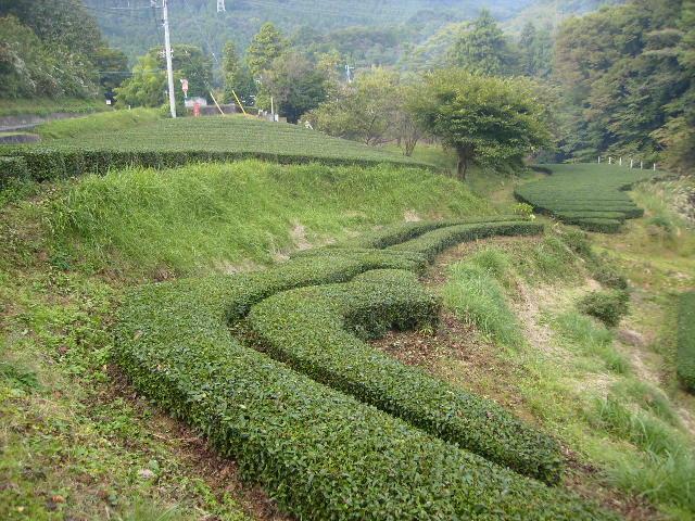 秋の茶畑44