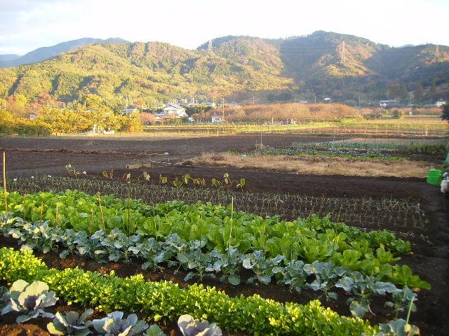 野菜畑13